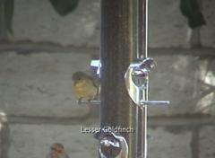 Goldfinch Frame Grab