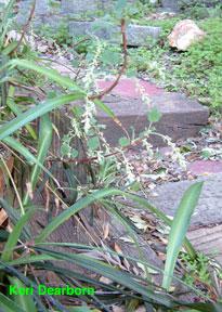 Ribes indecorum photo