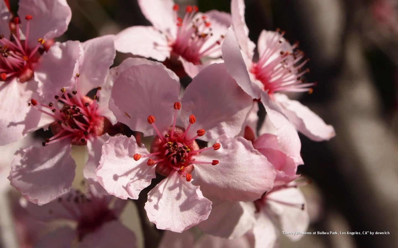 agn-cherryblossoms.jpg