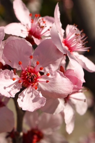 agn-iphone-cherryblossoms.jpg