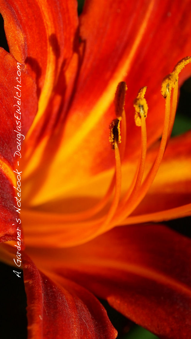 Daylily iphone5