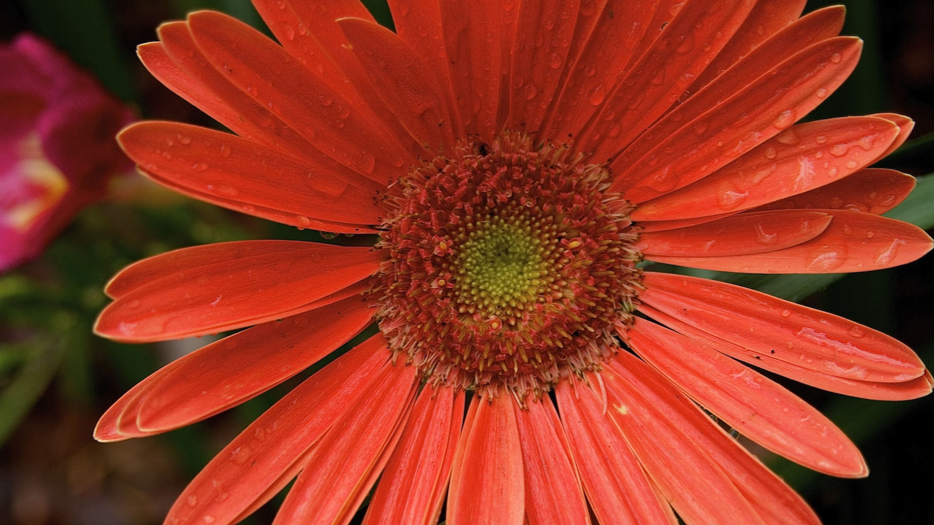 free gerbera daisy computer and smartphone wallpapers for march 2015