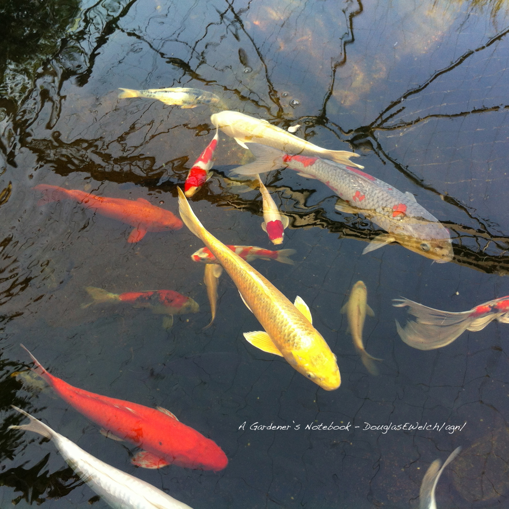 Free koi pond desktop tablet and smartphone wallpaper for for Koi holding pool