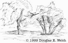 Sketch of Oak Trees