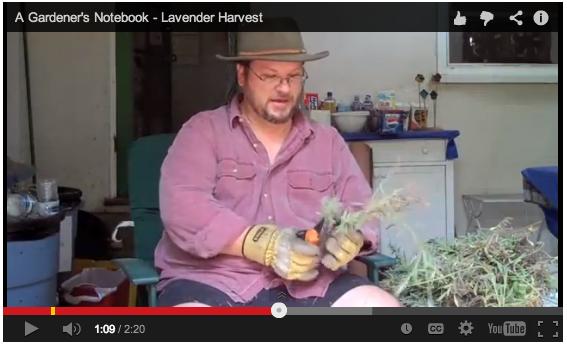 harvesting-lavender