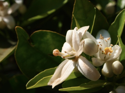 Orange blossom time
