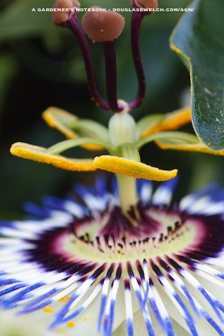 Passiflora wallpaper iphone