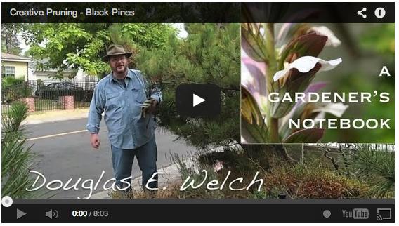 pruning-black-pines