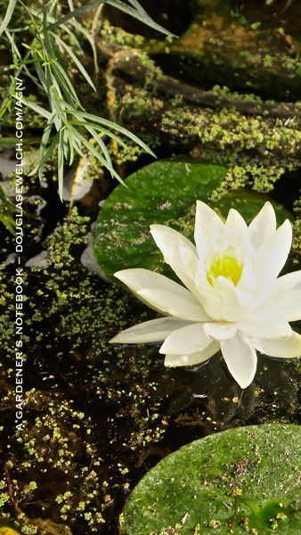 Lily pad iphone5