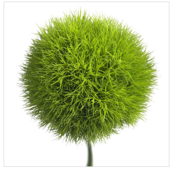 interesting plant dianthus barbathus �green ball� or