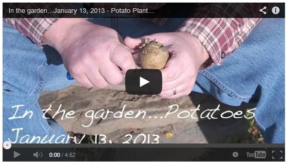 potato-planting