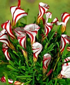 oxalis-versicolor