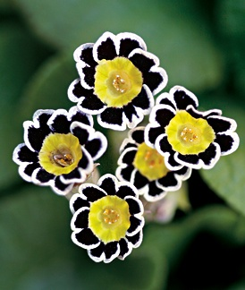 Interesting plant primula victoriana silver laced black a gardener 39 s notebook - Interesting houseplants ...