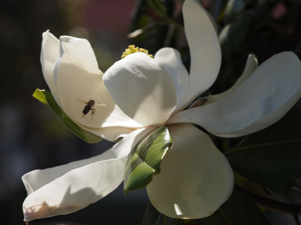 bee and magnolia