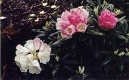 Rhododendron yaku