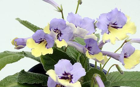 Streptocarpus h blue