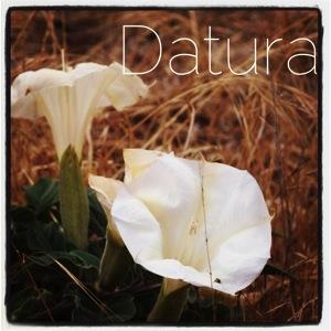 Datura from Santa Cruz Island