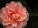 Camellia ipad