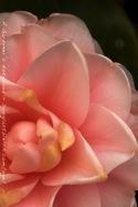 Camellia iphone4