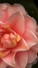 Camellia iphone5