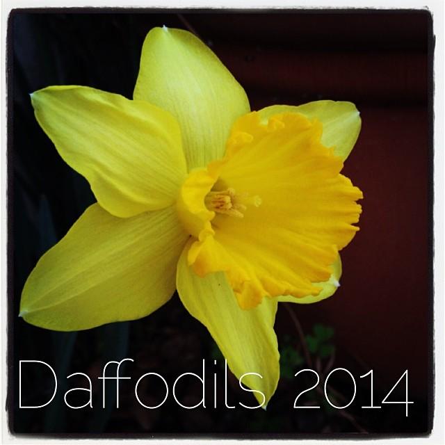 daffodils-2014