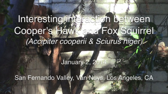 Squirrel hawk 2014 thumb