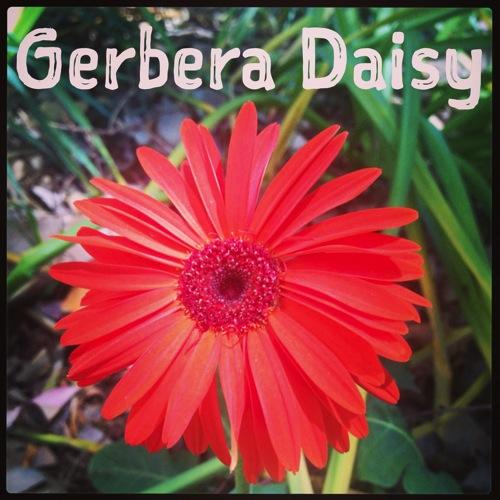 Gebera daisy