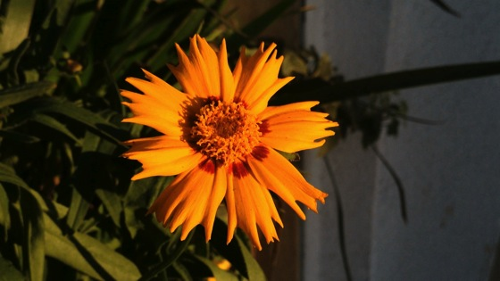Coreopsis sunset