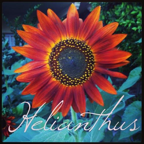 Helianthius