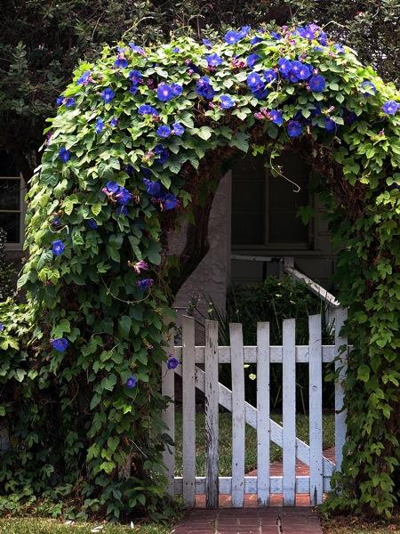 Flowering now: Morning glory scene in the neighborhood
