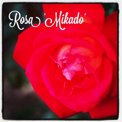 Rosa mikado