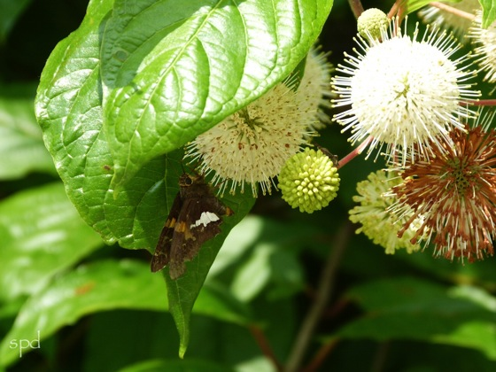 Buttonbush, (Cephalanthus occidentalis)