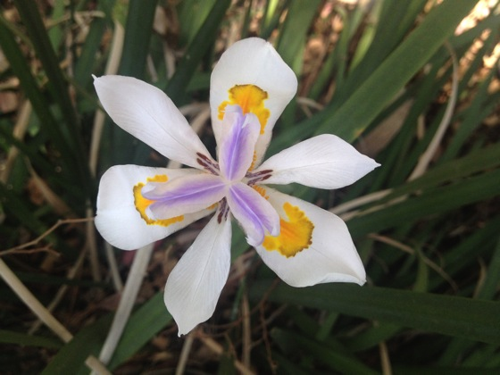 Fortnight lily - Dietes