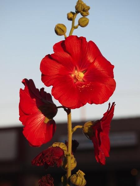 Red Hollyhock, Alcea, Burbank, CA
