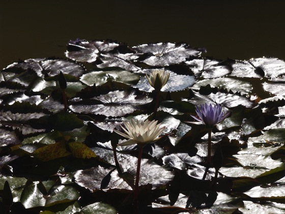 Skirball water lily 1