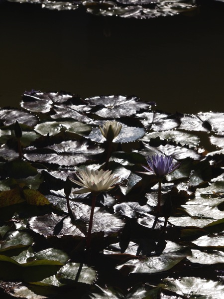 Skirball water lily 2