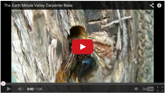 Valley carpenter bees