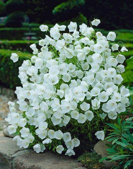 Interesting Plant: Campanula