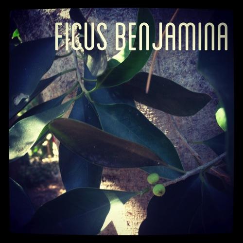 Garden Alphabet: Ficus benjamina