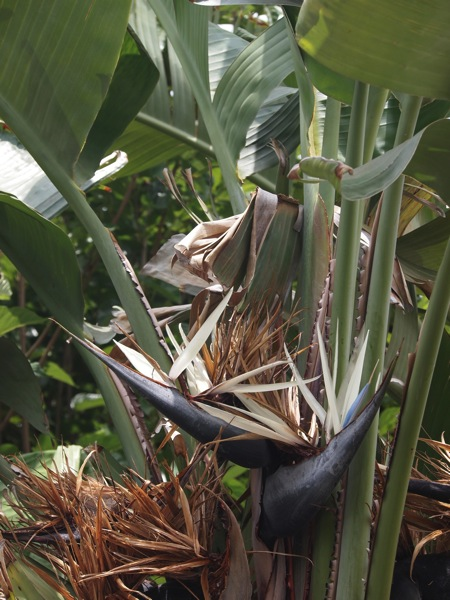 Flowering Now: Giant Bird of Paradise (Strelitzia nicolai)