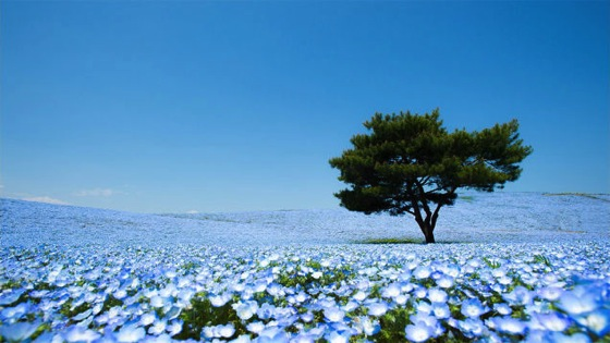 A never-ending ocean of 4.5 million flowers in Japan via Gizmodo