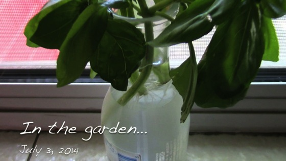 In the garden...July 3, 2014: Basil Cuttings and Propagation