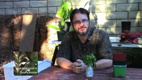 Video: In the garden...July 9, 2014: Potting up the New Basil Cuttings