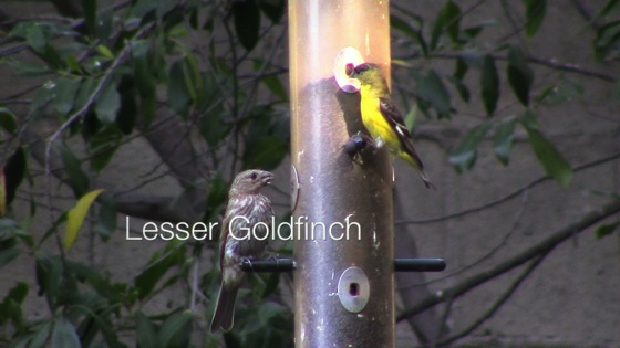 Video: Lesser Goldfinch (Carduelis psaltria) and House Finch (Carpodacus mexicanus)