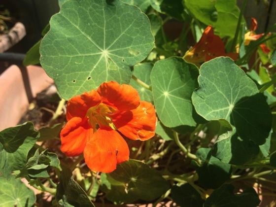 Flowering No: Nasturtium