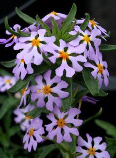 "Interesting Plant: Zaluzianskya villosa ""Southern Lilac Drumsticks"""