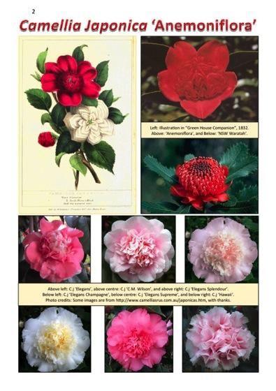Interesting Plant: Camellia japonica 'Anemoniflora'