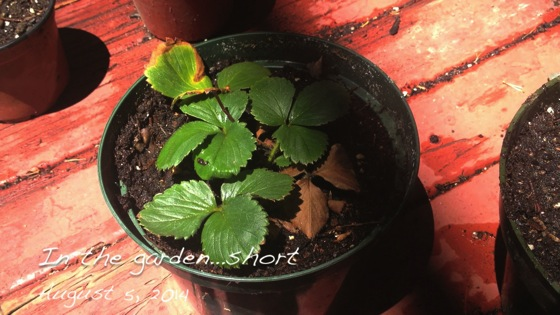In the garden short...August 5, 2014: Starting another strawberry runner propagation