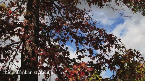 Liquidambar styraciflua seed pods open over course of 4 days - Dog Days of Podcasting 2014 - 24/30