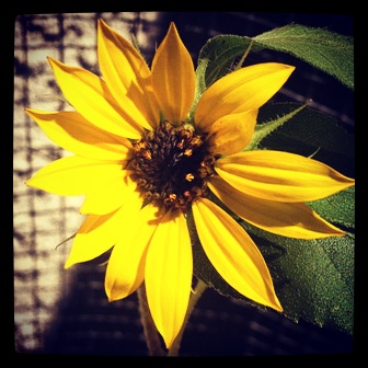 Photo: Little sunflower in the garden via #instagram